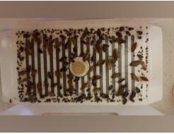 Ловушка для тараканов, прусаков и муравьев повышенной клейкости Killing Bait - изображение 11 - интернет-магазин tricolor.com.ua